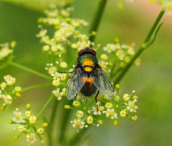 Fly in my garden